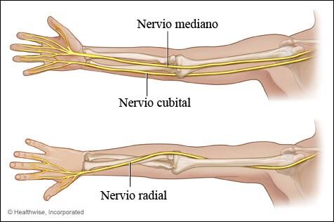 Imagen de los tres nervios principales del brazo