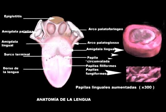 FUNDAMENTOS DE ANATOMIA Y FISIOLOGIA BUCODENTAL